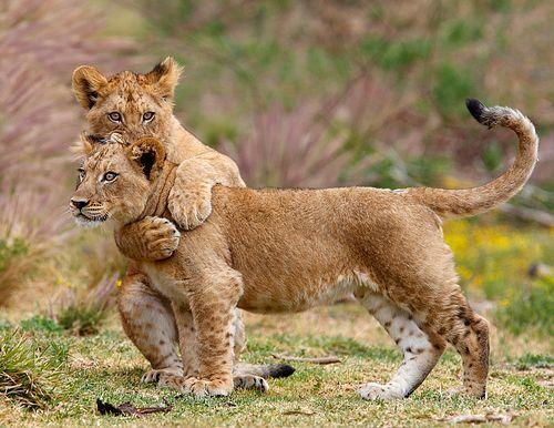 жизнь львов скачать торрент - фото 7