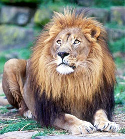 Доклад о львах по биологии 2987